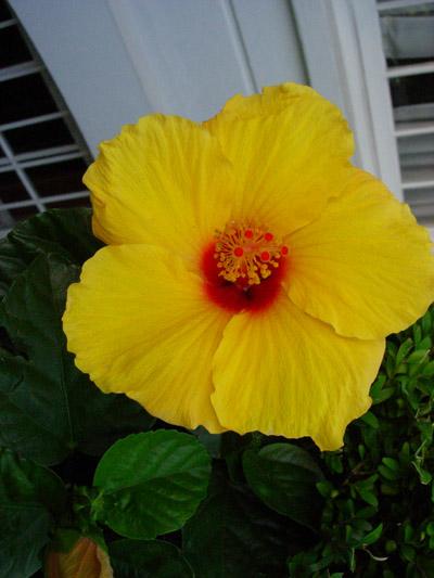 Hibiscus.size.jpg