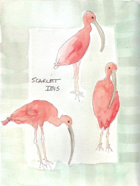 ScarletIbis.jpg