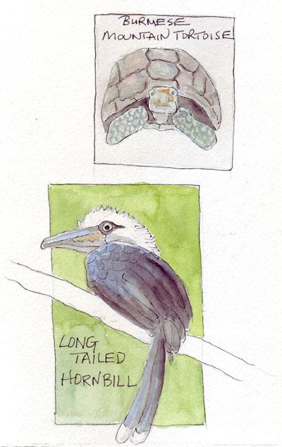 Tortoise.Hornbill.jpg
