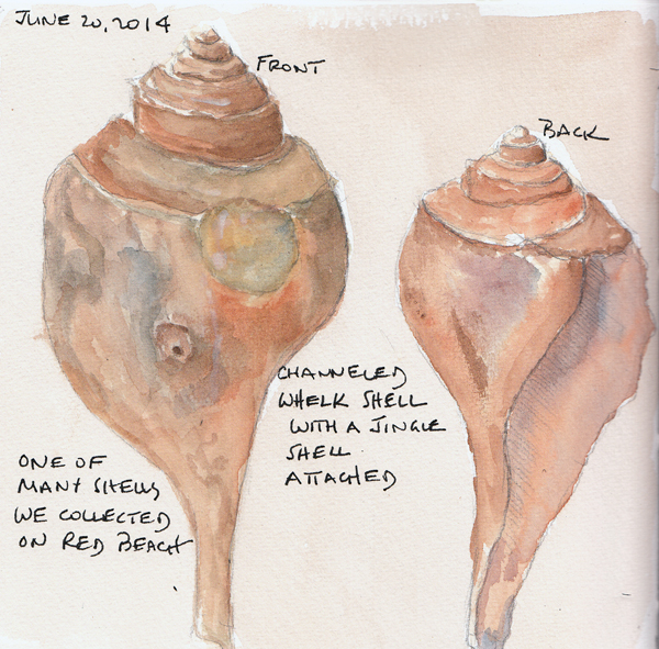 Whelk.mv.size.jpg